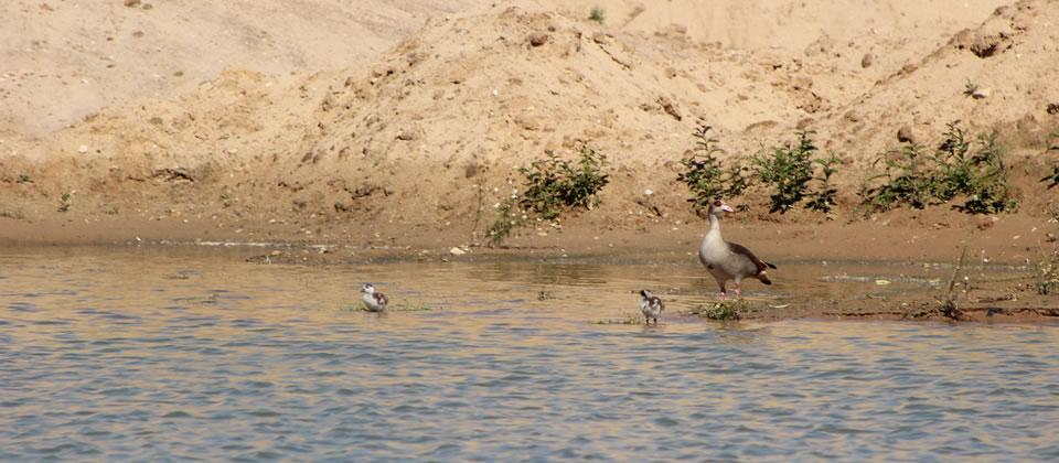 Schon während des Abbaus wird der See zum Lebensraum für Tiere